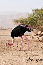 Ostrich on a Nature Reserve, Israel