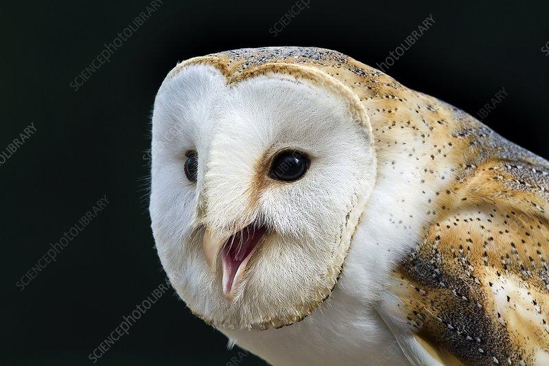 Barn owl calling