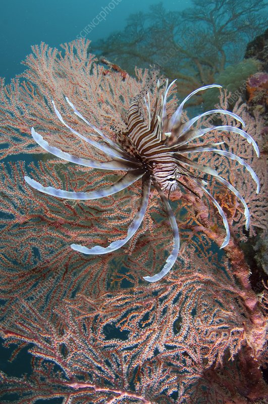 Red lionfish displaying