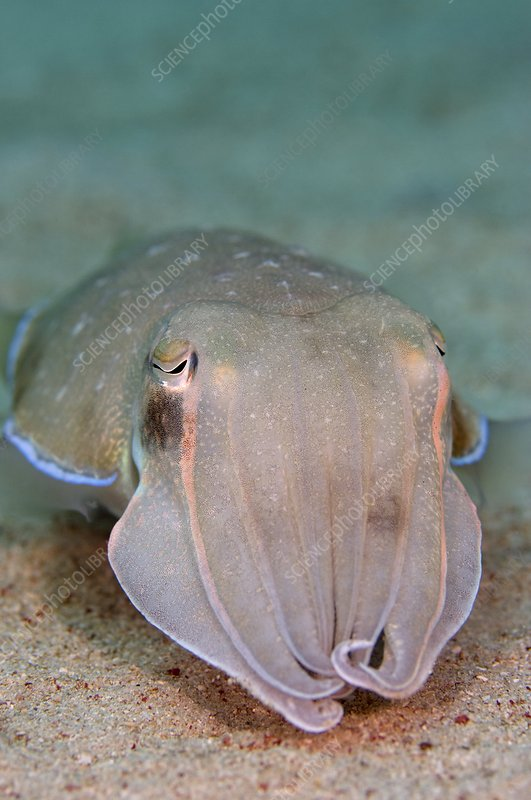 Smith's cuttlefish