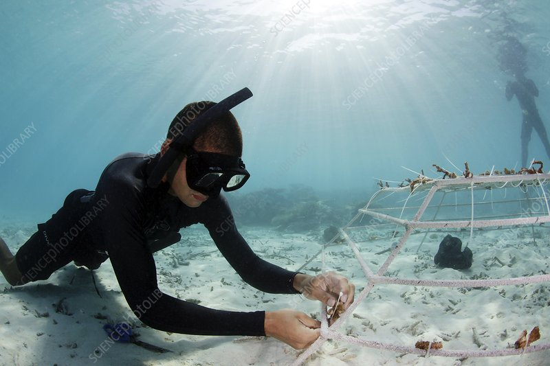Coral reef regeneration project, Maldives