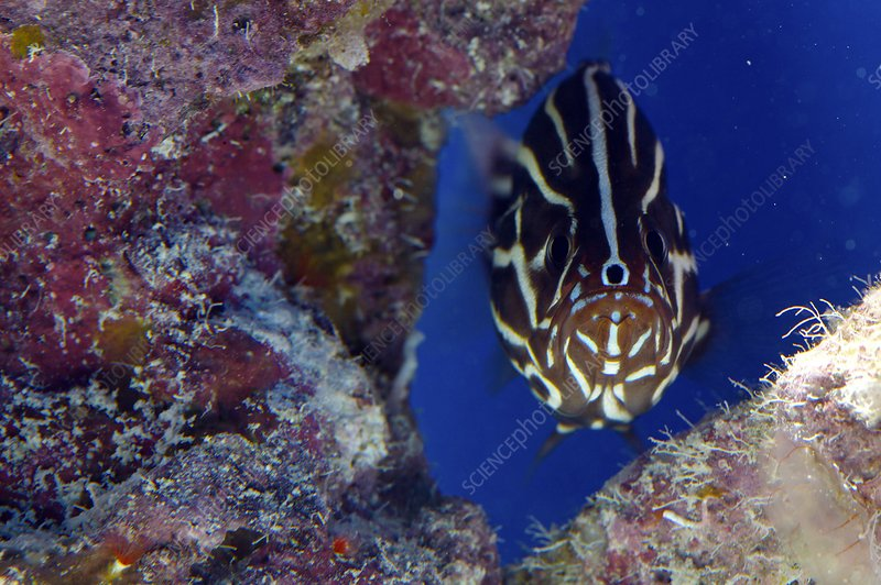 Broadstriped cardinalfish