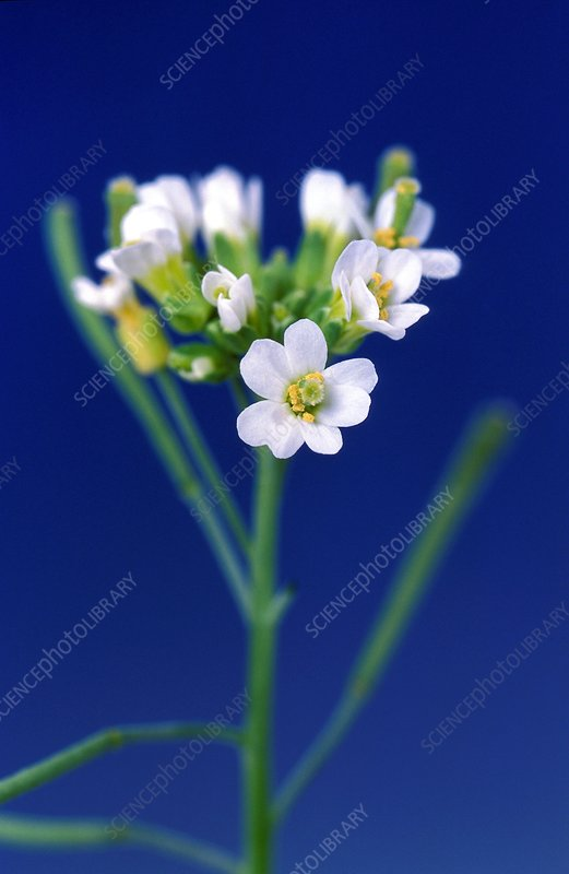 Genetically modified thale cress flowers