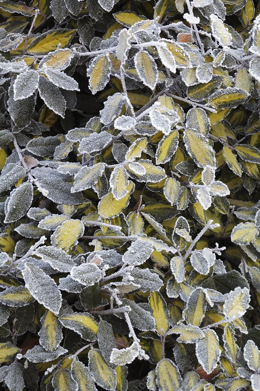 Frost on Elaeagnus pungens 'Maculata'
