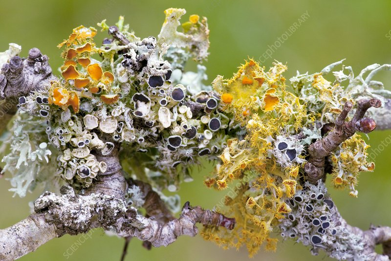 Lichens on Blackthorn