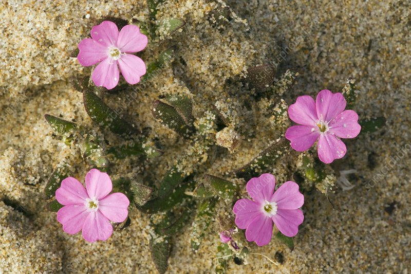 Shore Campion (Silene littorea)