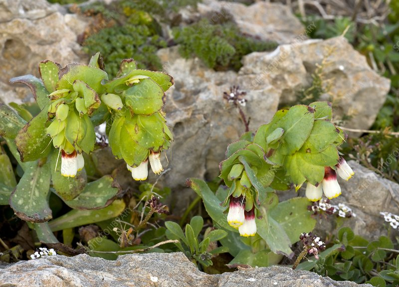 Cerinthe major ssp. gymnandra