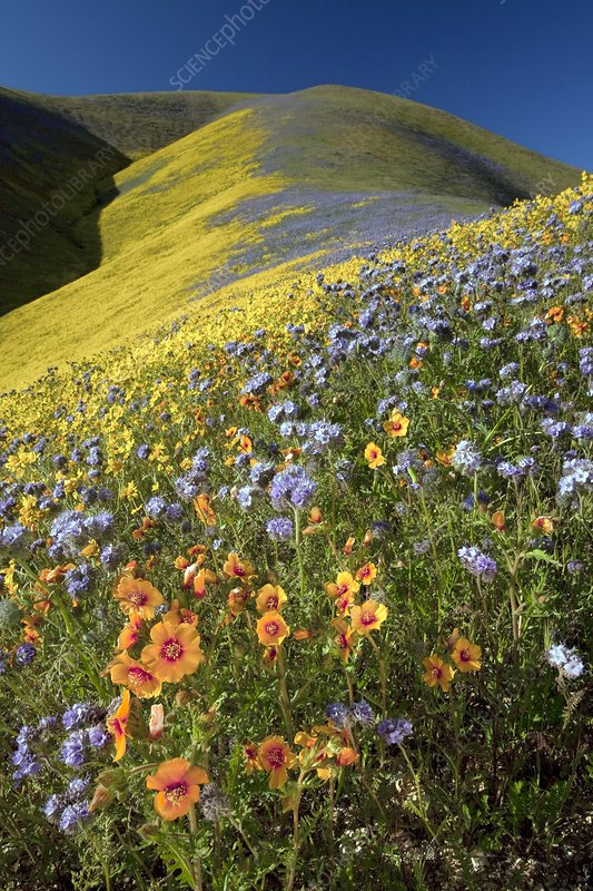 Wildflowers, California