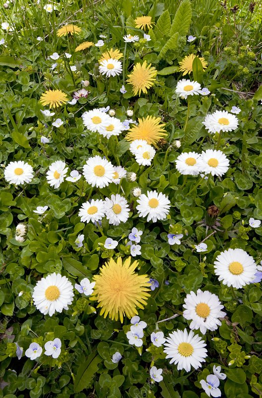 Daisy, Dandelions and Slender Speedwell