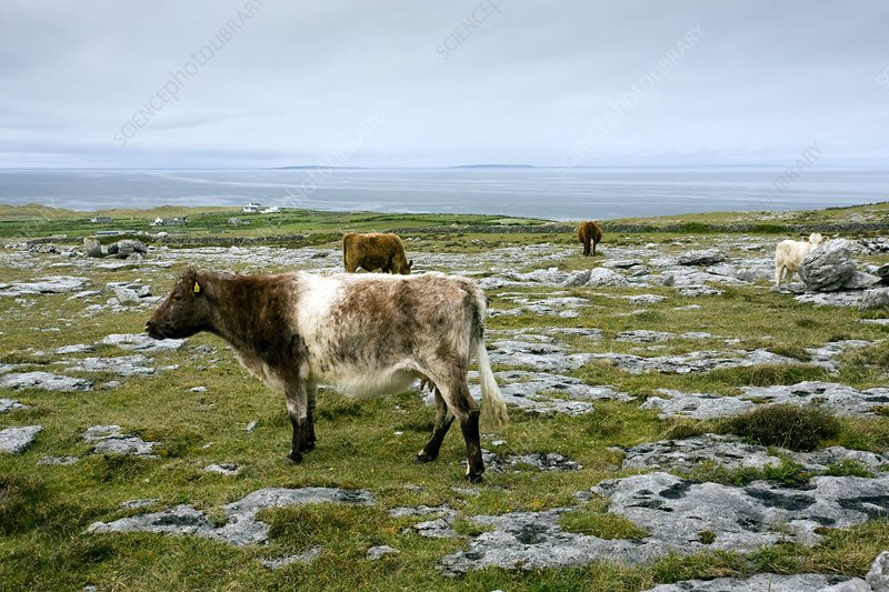 Cattle grazing in Eire