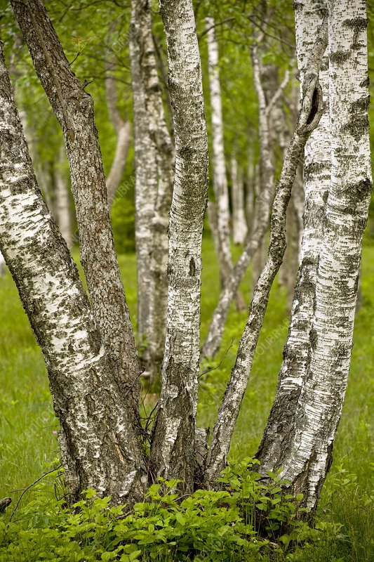 Downy Birch (Betula)