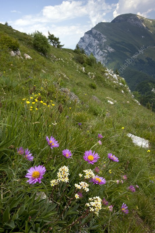 Alpine Aster and Livelong Saxifrage
