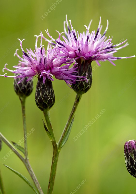 Saw-wort (Serratula tinctoria)