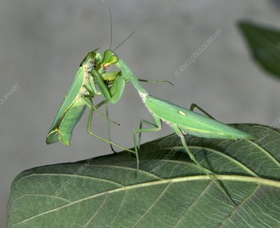 Female giant Asian mantis eating its mate