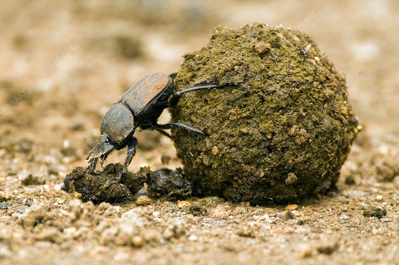 Dung beetle pushing a dung ball