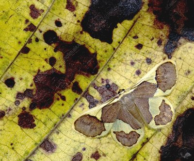 Moth camouflaged against a leaf
