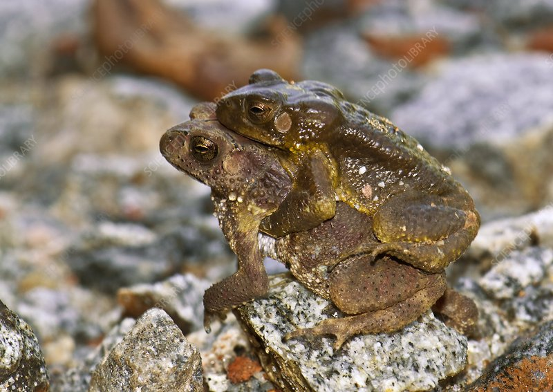 Common Indian toads mating