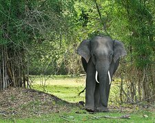 Asian elephant amongst trees