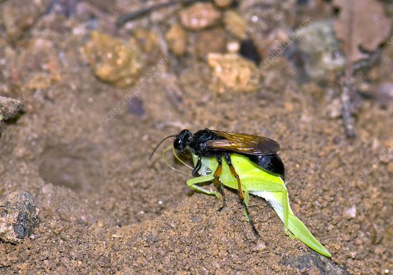 Digger wasp with prey