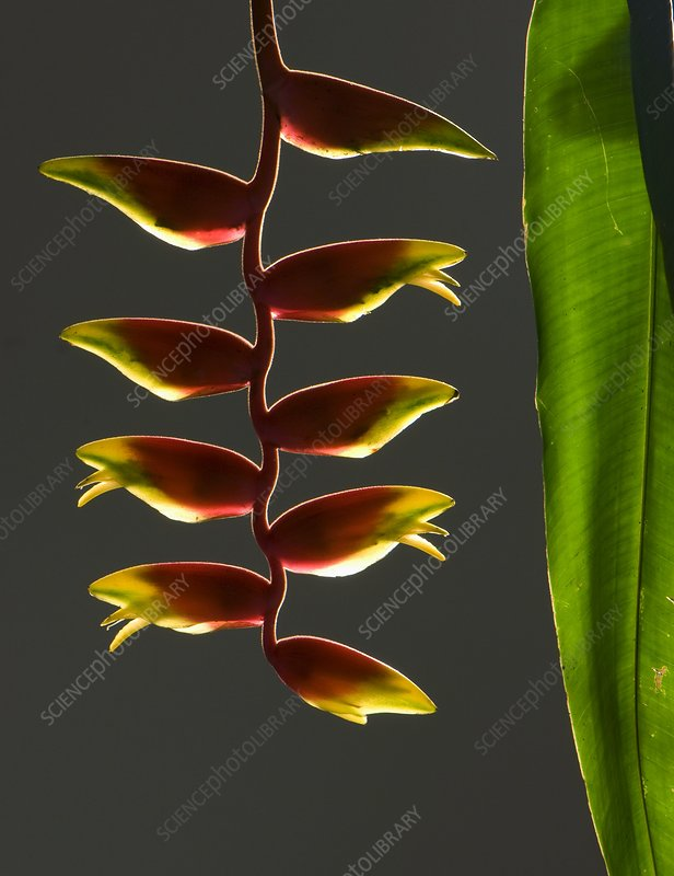 Heliconia rostrata flowers