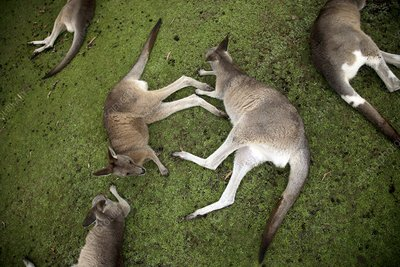 Wallabies resting on grass
