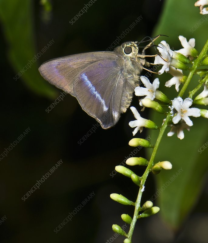 Common banded awl butterfly