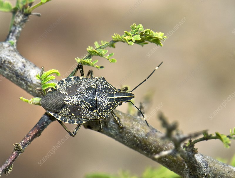 Hong Kong shield bug on a branch