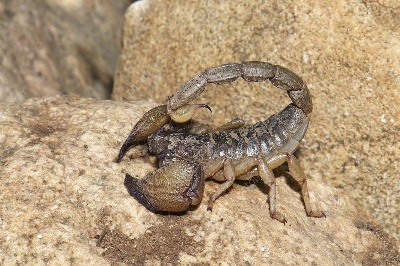 Scorpion on rocks