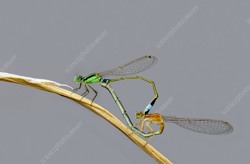 Common bluetail damselflies mating