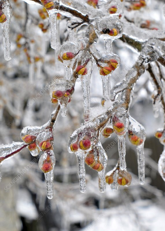 Frozen branch and flower buds