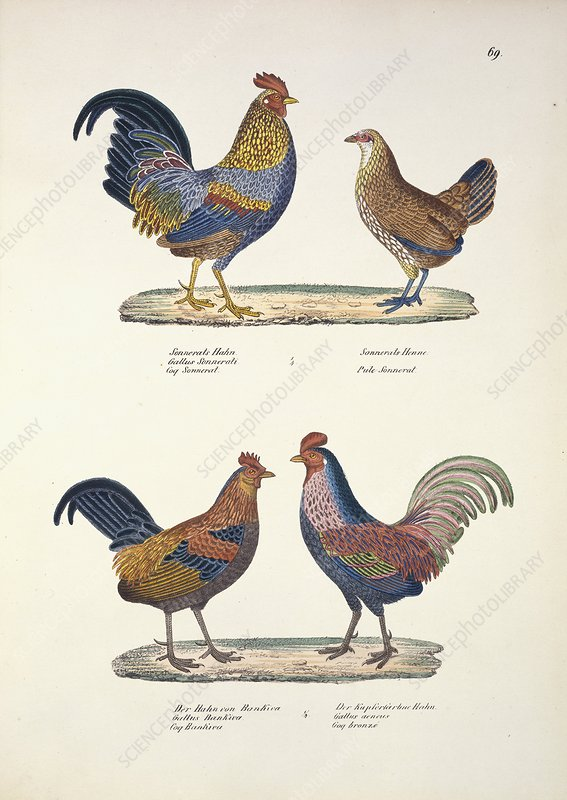 Grey and red junglefowl, artwork