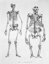 Human and gorilla skeletons, artwork