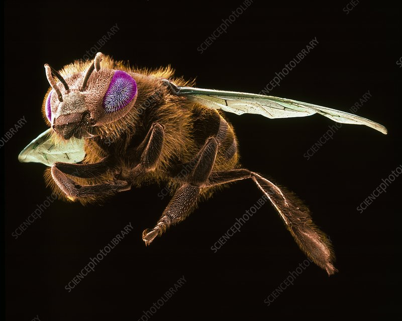 Female honey bee, SEM