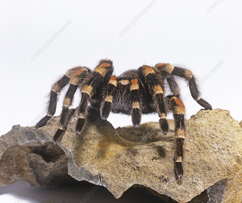 Mexican red-knee tarantula