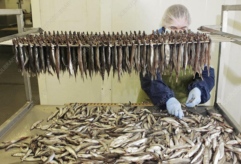 Fish being prepared for curing