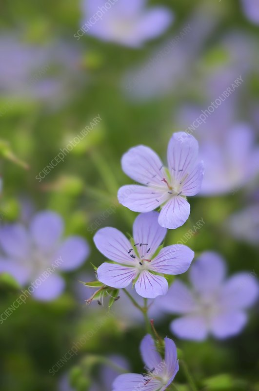 Geranium 'Blue cloud' in flower
