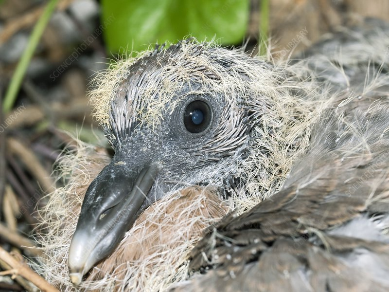 Wood pigeon chick
