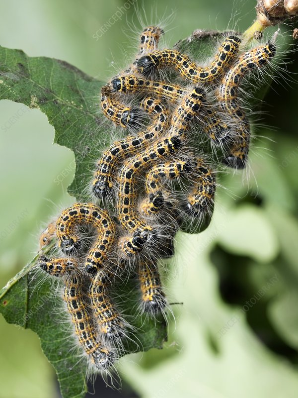 Buff-tip moth caterpillars
