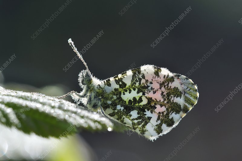 Orange tip butterfly covered in dew