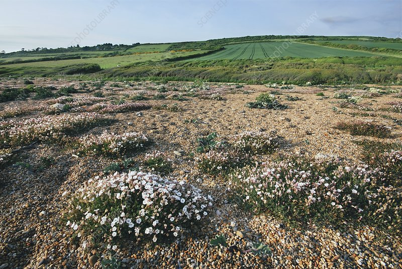 Sea campion (Silene uniflora) in flower