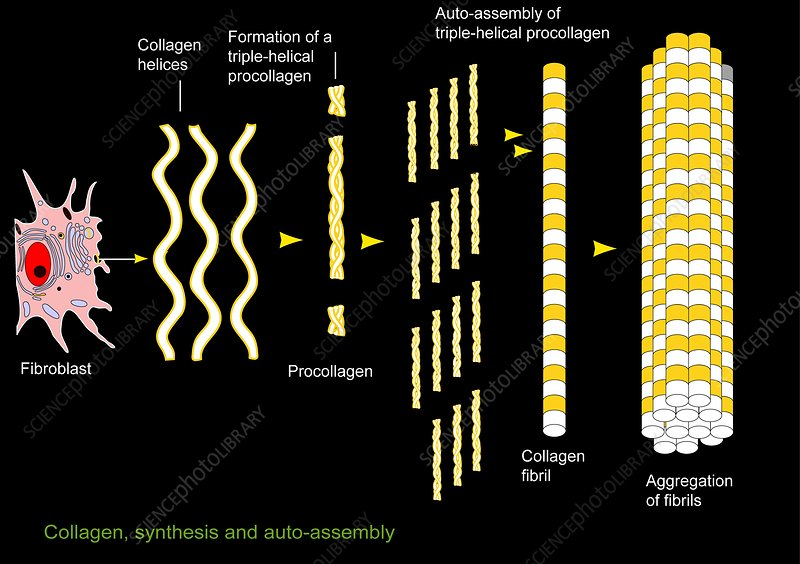 Collagen synthesis and assembly, artwork