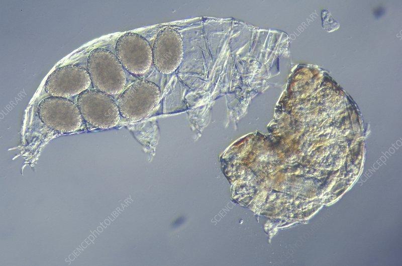 tardigrade leaving an egg mass stock image c0086169