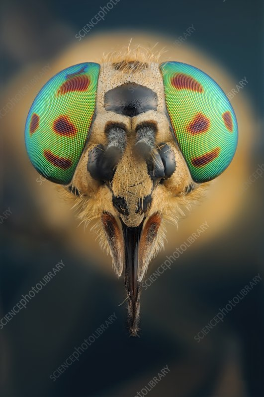 Head of a Deer Fly