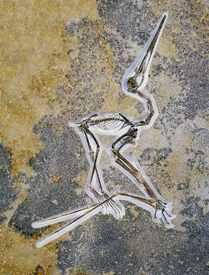 Fossil of a Short-tailed Pterosaur