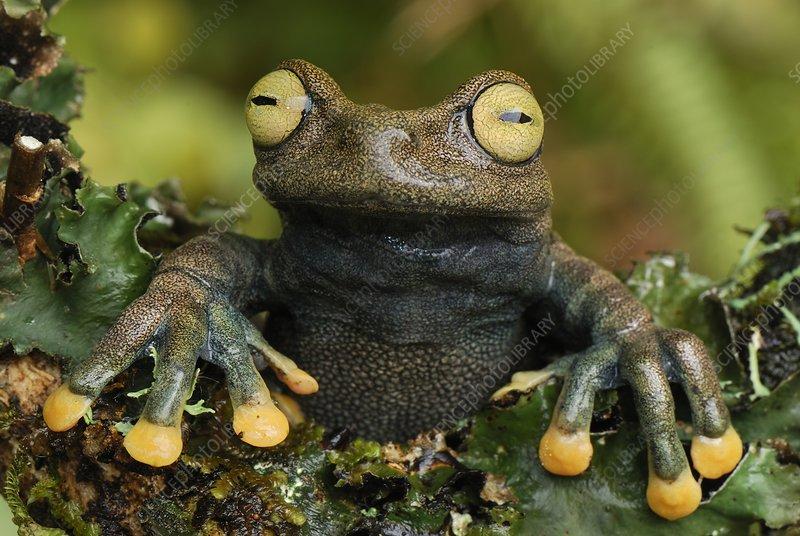 Linda's Treefrog