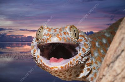 Tokay Gecko head with open mouth