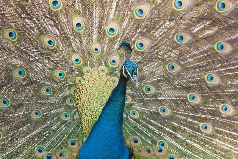 Male Blue Peafowl displaying