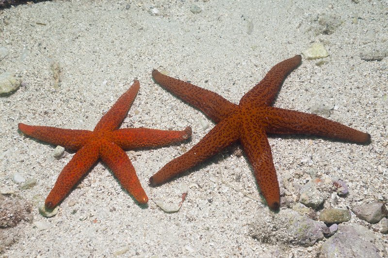 Red Starfish color variation