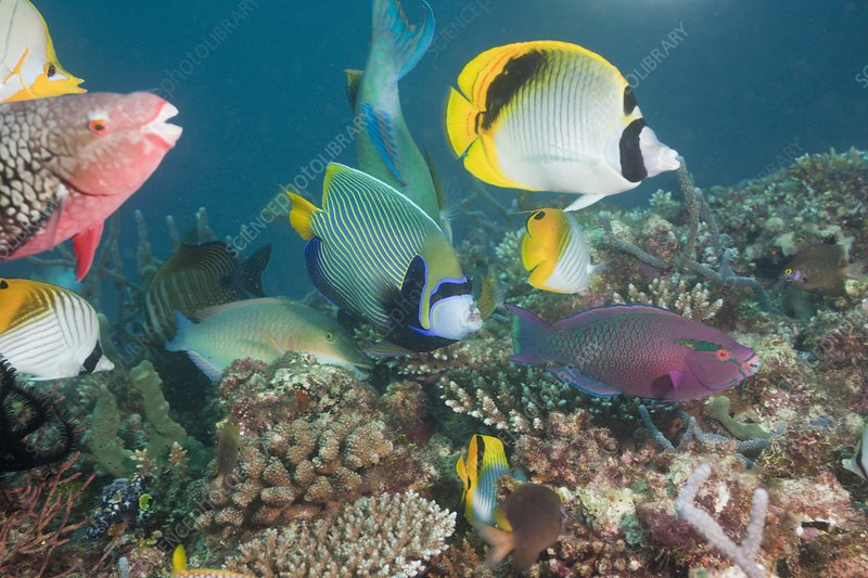 Variety of fish over a Coral Reef