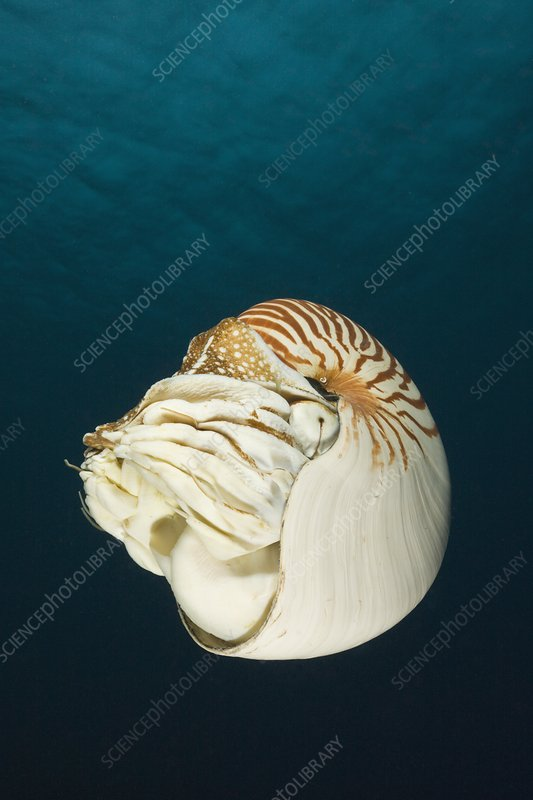 the description of the marine science of chambered nautilus Softpedia news science nature the chambered nautilus has a relatively small brain and according to a new experiment it may a marine biologist from the.